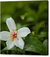 Tung Flower On Tea Tree Canvas Print