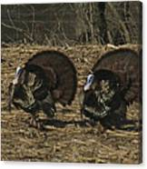Turkeystrutin Canvas Print