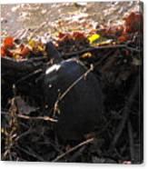 Turtle At Deer Creek Canvas Print