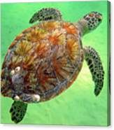 Turtle Day In Titusville,florida Canvas Print