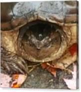 Turtle In Repose  Canvas Print