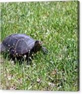 Turtle In The Grass Canvas Print