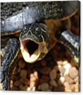 Turtle With His Mouth Wide Open  Canvas Print