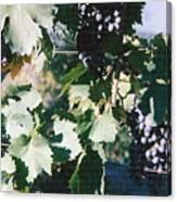 Tuscan Grapes Photograph Canvas Print