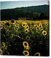 Tuscany - Sunflowers At Sunset Canvas Print