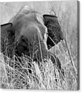 Tusker In The Grass Canvas Print