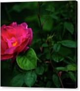 Twilight Rose Canvas Print