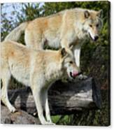 Twin Blond Wolves Canvas Print