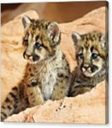 Twin Cougar Kittens Canvas Print