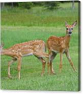 Twin Fawns Playing Canvas Print