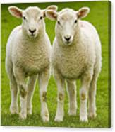 Twin Lambs Canvas Print
