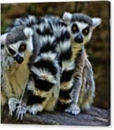 Twin Lemurs Canvas Print