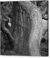 Twisted Old Tree Canvas Print