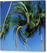 Twisted Palms On The Island Of Trinidad Canvas Print