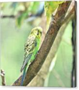 Two Adorable Budgie Parakeets Living In Nature Canvas Print
