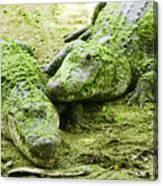 Two Alligators Canvas Print