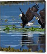 Two American Bald Eagle Touching Down At Low Tide Canvas Print