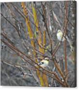 Two American Goldfinch Canvas Print