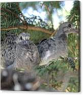 Two Baby Morning Dove's Canvas Print