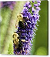 Salvia With Bees Canvas Print