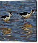 Two Black Neck Stilts  Canvas Print