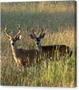Two Black-tailed Deer In Meadow Grass Canvas Print