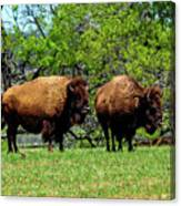 Two Buffalo Canvas Print