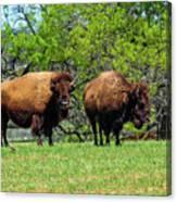 Two Buffalo Standing Canvas Print