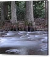 Two Ceders Next To A Mountain Stream Canvas Print