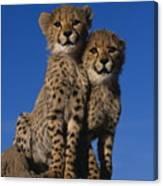 Two Cheetah Cubs Canvas Print