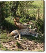Two Cheetahs Canvas Print