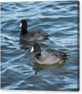 Two Coots Canvas Print