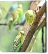 Two Cute Little Parakeets In A Tree Canvas Print