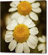 Two Daisies Canvas Print