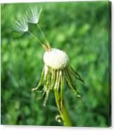 Two Dandelion Seeds Canvas Print
