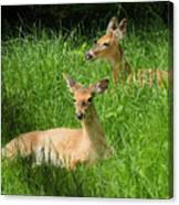 Two Deer In Tall Grass Canvas Print