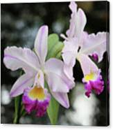 Two Delicate Orchids Canvas Print