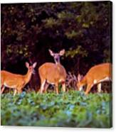 Two Doe And One Buck Canvas Print