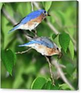 Two Eastern Bluebirds Canvas Print