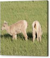 Two Ewes In The Badlands Canvas Print