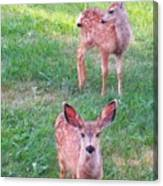 Two Fawn Canvas Print