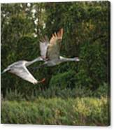 Two Florida Sandhill Cranes In Flight Canvas Print