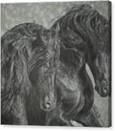Two Friesian Stallions Canvas Print