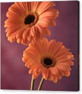 Two Gerberas 2 Canvas Print