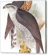 Two Goshawks Canvas Print