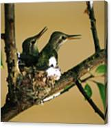 Two Hummingbird Babies In A Nest 5 Canvas Print