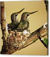 Two Hummingbird Babies In A Nest Canvas Print