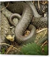 Two Intertwined Grass Snakes Lying In The Sun Canvas Print