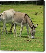 Two Jerusalem Donkeys In A Field Canvas Print