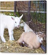 Two Little Goatlings Canvas Print